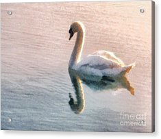 Swan On Lake Acrylic Print by Pixel  Chimp