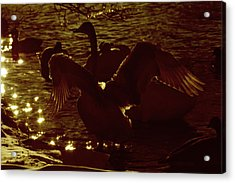 Swan Spreads Its Wings Wide Acrylic Print by Toppart Sweden