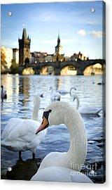 Swans On Vltava River Acrylic Print by Jelena Jovanovic