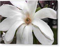 Sweet Magnolia Acrylic Print by Judy Palkimas