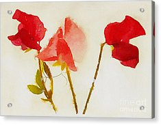 Sweet Pea Watercolour Acrylic Print by John Edwards