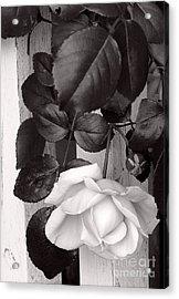 Sweet Petals Acrylic Print by Avis  Noelle