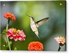 Sweet Promise Hummingbird Acrylic Print by Christina Rollo