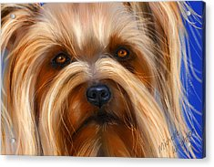 Sweet Silky Terrier Portrait Acrylic Print by Michelle Wrighton
