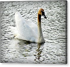 Sweet Swan Swimming Acrylic Print by Danielle  Parent