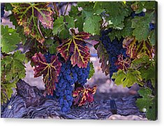 Sweet Wine Grapes Acrylic Print by Garry Gay