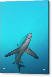 Swimming Thresher Shark Acrylic Print by Scubazoo