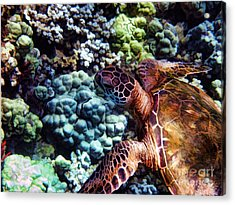 Swimming With A Sea Turtle Acrylic Print by Peggy J Hughes