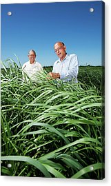 Switchgrass Crop Research Acrylic Print by Peggy Greb/us Department Of Agriculture