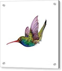 Swooping Broad Billed Hummingbird Acrylic Print by Amy Kirkpatrick