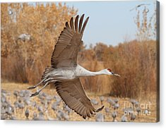 Swooping Sandhill  Acrylic Print by Ruth Jolly