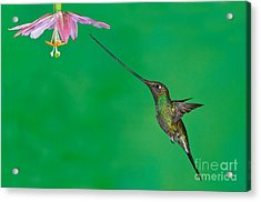 Sword-billed Hummer Acrylic Print by Anthony Mercieca