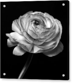 Black And White Roses Flowers Art Work Photography Acrylic Print by Artecco Fine Art Photography