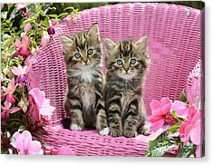 Tabby Kittens Acrylic Print by Greg Cuddiford