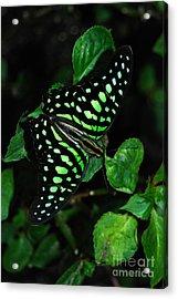 Tailed Jay Butterfly Acrylic Print by Eva Kaufman