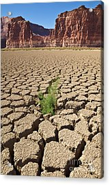 Tamarisk In Dry Colorado River Acrylic Print by Yva Momatiuk John Eastcott