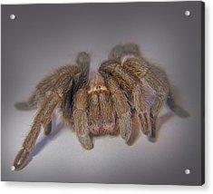 Tarantula Acrylic Print by David and Carol Kelly
