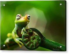 tree frog Hypsiboas punctatus Acrylic Print by Dirk Ercken