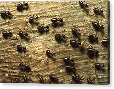 Termites On Wood With One Carrying Acrylic Print by Konrad Wothe