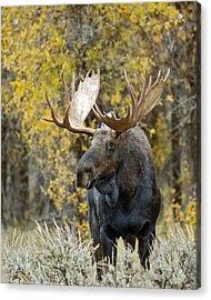 Teton Bull Moose Acrylic Print by Gary Langley