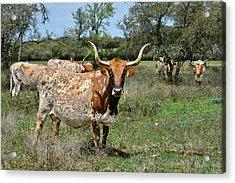Texas Longhorns Acrylic Print by Christine Till