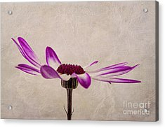 Aster Acrylic Print featuring the photograph Texturised Senetti Pericallis by John Edwards