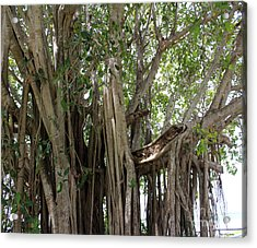 The Banyan Tree Acrylic Print by Megan Dirsa-DuBois