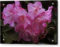 The Beauty Of Pink Acrylic Print by Qing