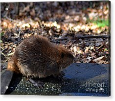 The Beaver Acrylic Print by Eva Thomas