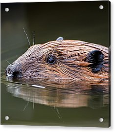 The Beaver Square Acrylic Print by Bill Wakeley