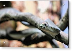 The Black Mamba Acrylic Print by JC Findley