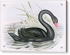 The Black Swan Acrylic Print by John Gould