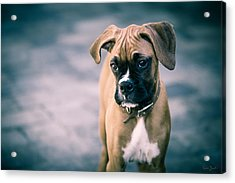 The Boxer Acrylic Print by Karen Zucal Varnas