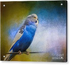 The Budgie Collection - Budgie 2 Acrylic Print by Jai Johnson