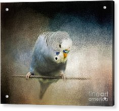 The Budgie Collection - Budgie 3 Acrylic Print by Jai Johnson