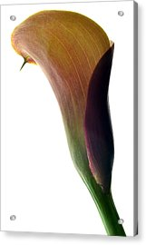 The Colours Of Calla. Acrylic Print by Terence Davis
