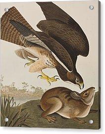 The Common Buzzard Acrylic Print by John James Audubon