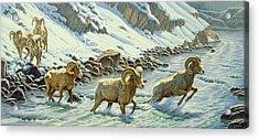 The Crossing - Bighorn Acrylic Print by Paul Krapf