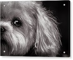 The Dog Next Door Acrylic Print by Bob Orsillo