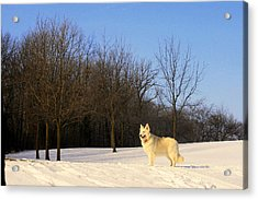 The Dog On The Hill Acrylic Print by Kay Novy