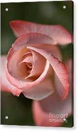 The Eye Of The Rose Acrylic Print by Joy Watson