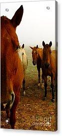 The Gauntlet - Horses Acrylic Print by Robert Frederick