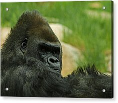 The Gorilla 2 Acrylic Print by Ernie Echols