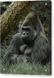 The Gorilla 3 Acrylic Print by Ernie Echols
