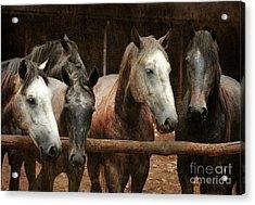The Horses Acrylic Print by Angel  Tarantella