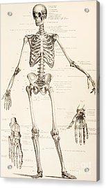 The Human Skeleton Acrylic Print by English School