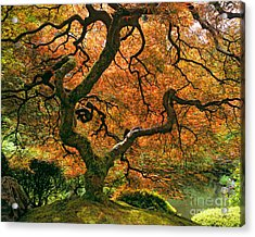 The Japanese Maple Acrylic Print by Timm Chapman