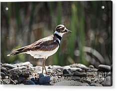 The Killdeer Acrylic Print by Robert Bales