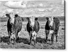 The Ladies Three Cows Acrylic Print by John Farnan
