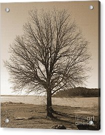 The Last Oak Acrylic Print by R McLellan